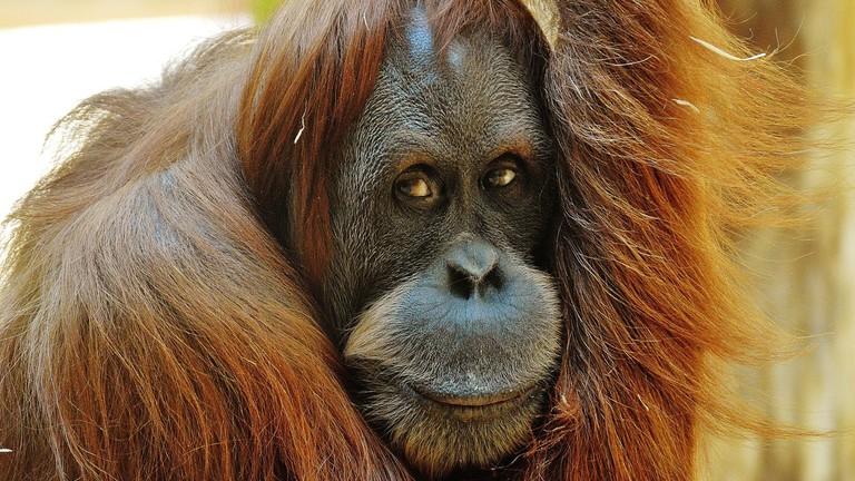 Orang Utan in Borneo island   © Pixabay