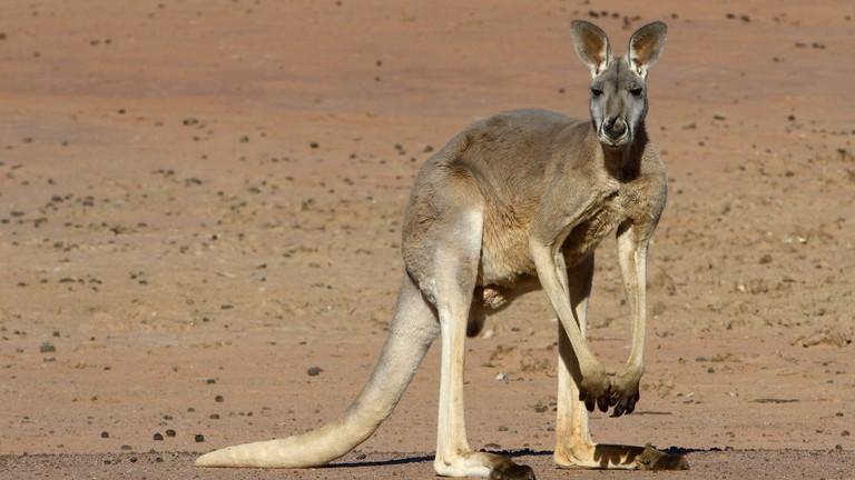 new photos 2eb87 79fb8 Red Kangaroo: 11 Facts About Australia's National Animal