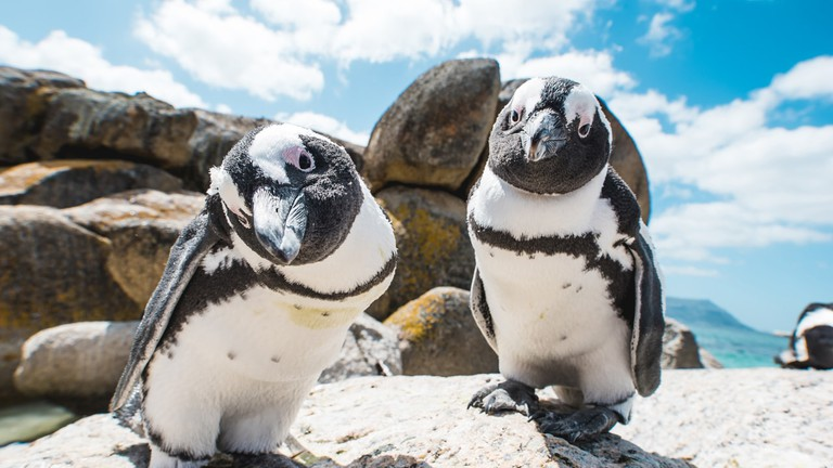 Saving South Africa S Penguins