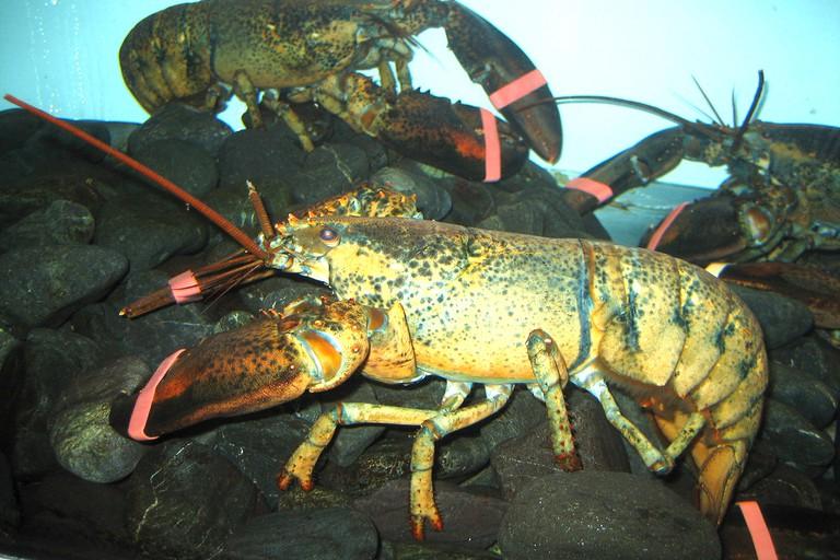 Tank lobster