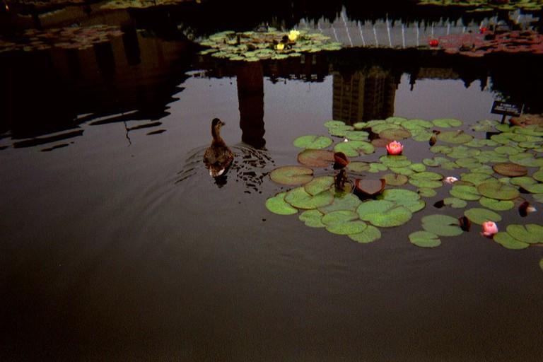 Duck in Brooklyn Botanical Gardens