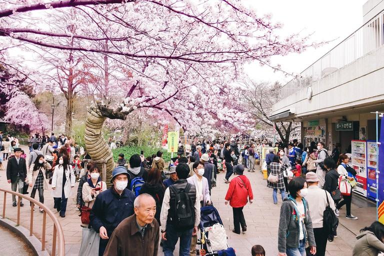 Cherry blossom viewing (hanami) at Inokashira Park in Kichijoji | © Dick Thomas/Flickr