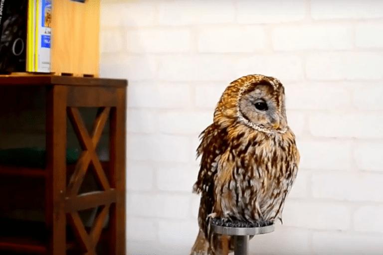 An owl at Cafe Baron