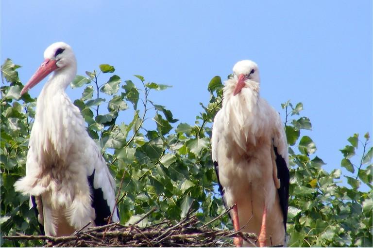 White storks at 't Zwin | © sophie / Flickr