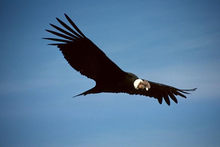 A male Andean condor in flight