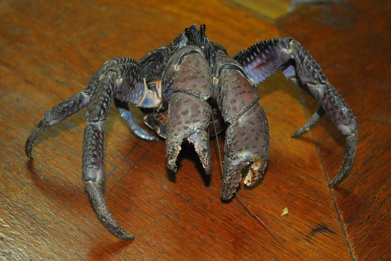 The coconut crab - or 'uga' - is a local delicacy in Niue