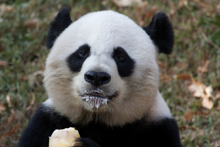 Mei and her popsicle at the National Zoo | © Brian Gatwicke / Flickr