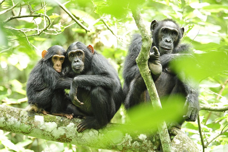 1024px-Chimpanzees_in_Uganda_(5984913059)