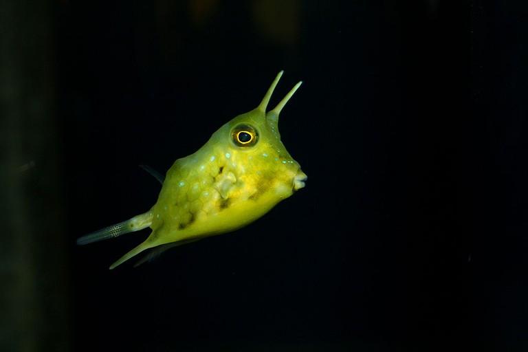 Lactoria Cornuta At St Andrews Aquarium