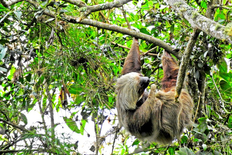 A sleepy sloth in Chicaque Park