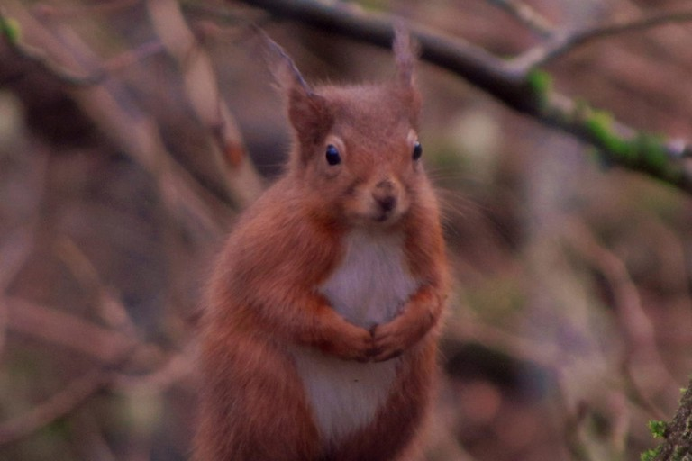 Red Squirrel, Killiecrankie