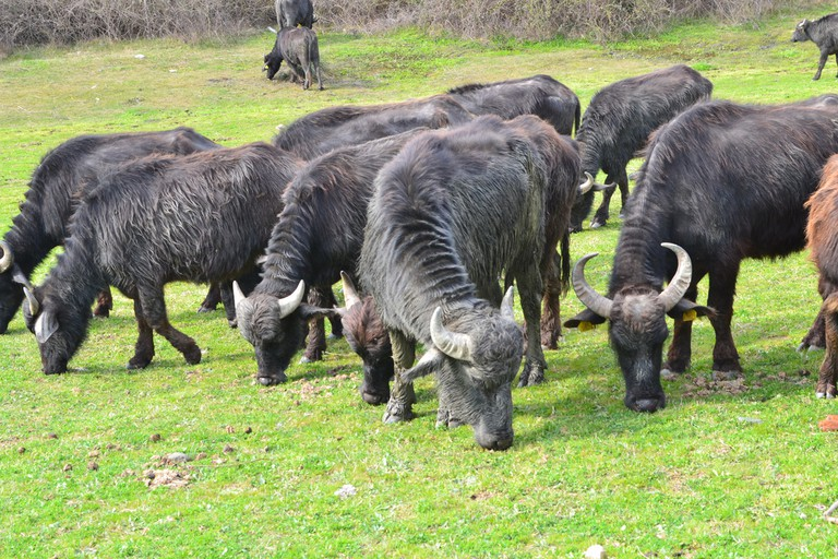 Water buffalos grazing near Kerkini lake