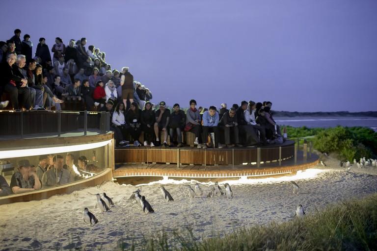 Penguin Parade, Summerlands