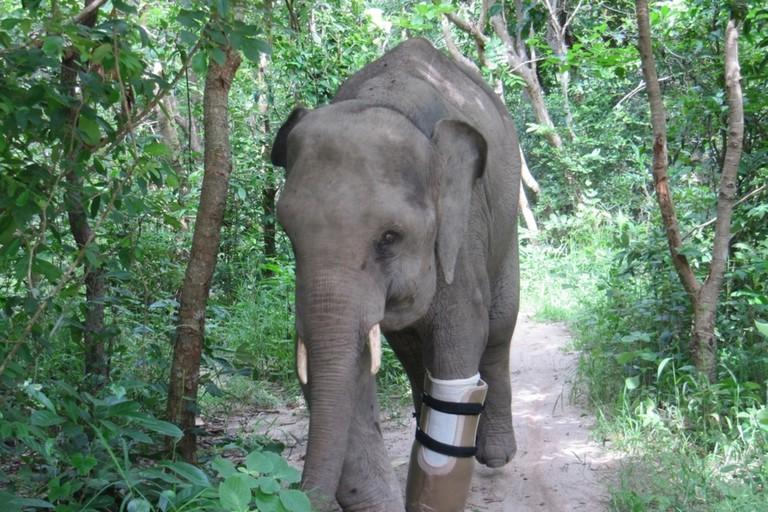 Chhouk, a resident elephant at Phnom Tamao Wildlife Center