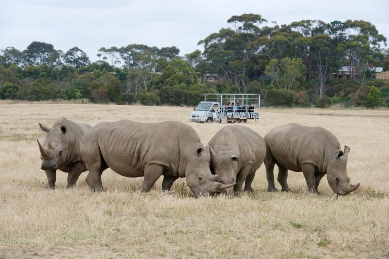 Off Road Safari with Rhinos Courtesy of Werribee Open Range Zoo