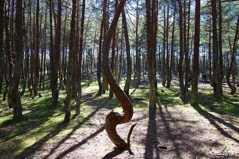 The dancing forest in Kalinigrad, Russia