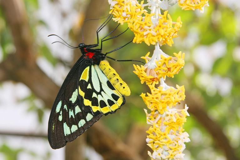 Birdwing-Butterfly---Butterfly-World