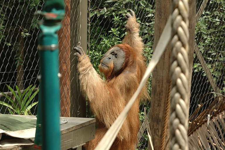 Orang-utan at Melbourne Zoo