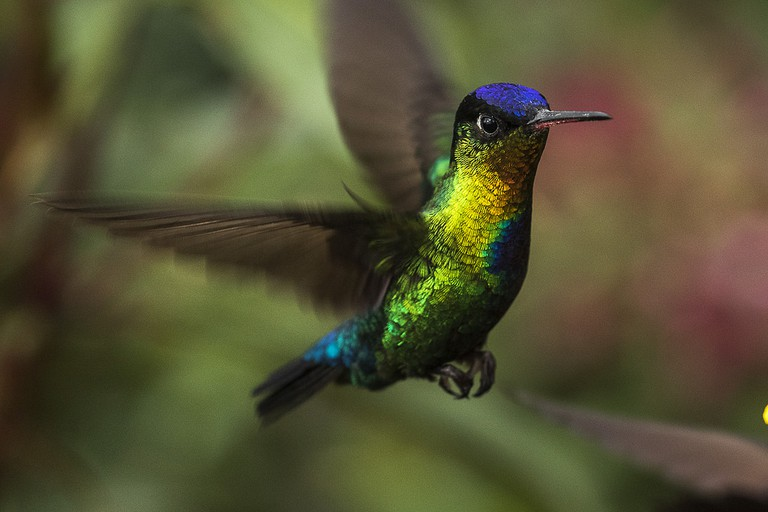 Fiery-throated hummingbird in the cloud forest