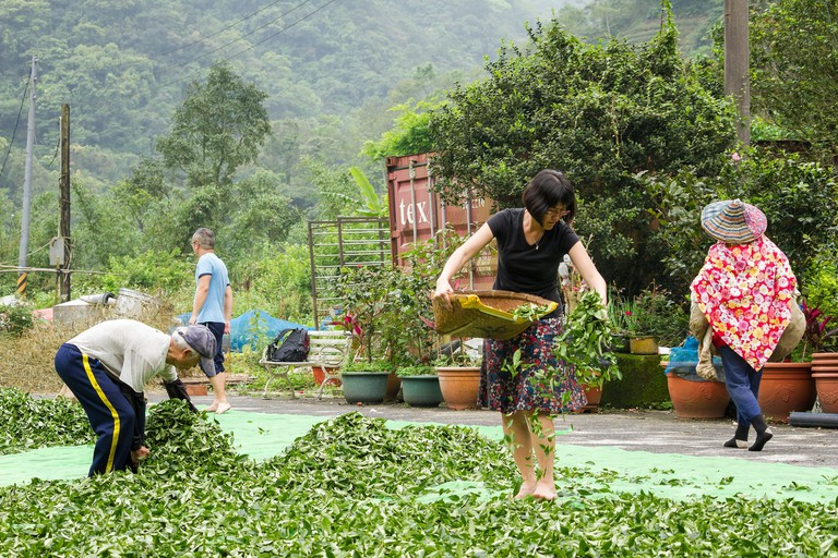 Spreading Tea Leaves for Outdoor Oxidation