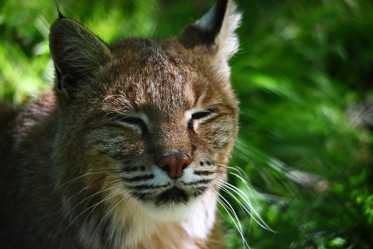 1024px-Bobcat_face_wildlife_46_-_West_Virginia_-_ForestWander