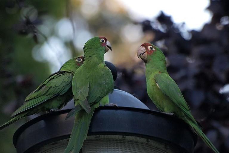 SF Parrots