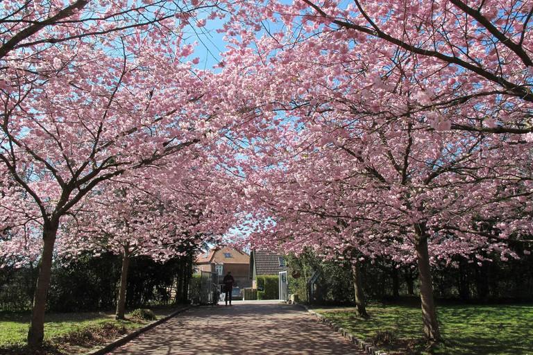 bispebjerg cemetery cherry blossom copenhagen