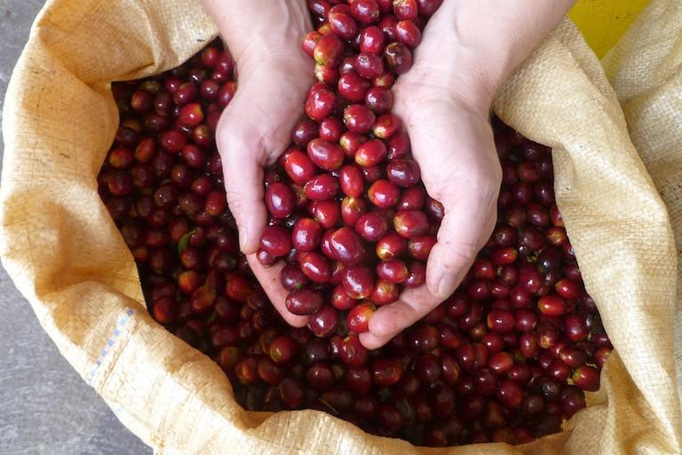 Geisha coffee beans
