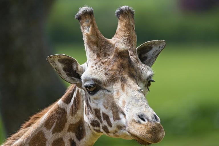 Portrait of a giraffe in the sun