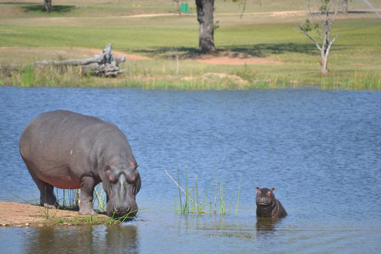 At dusk, hippos leave the water and sometimes walk as far as 8km inland to graze on short grass