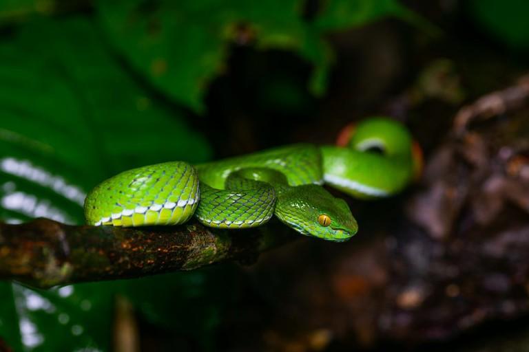Trimeresurus cardamomensis (in situ) - Khao Chamao - Khao Wong National Park