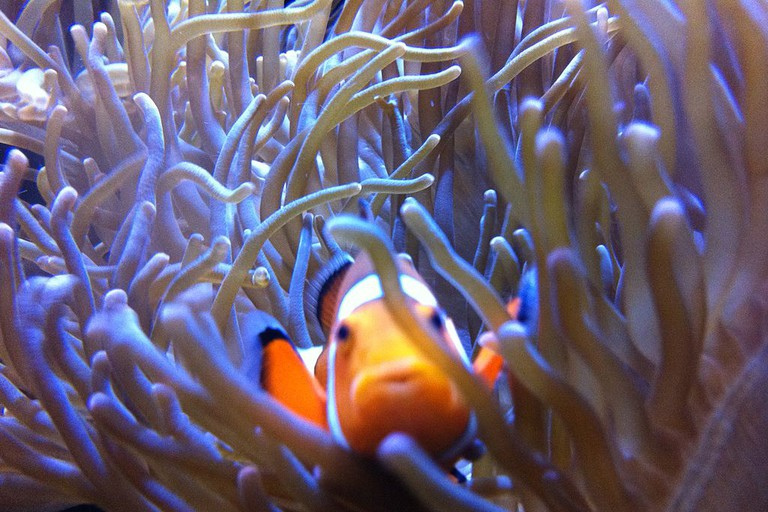 A clown fish at the Getxo Aquarium near Bilbao