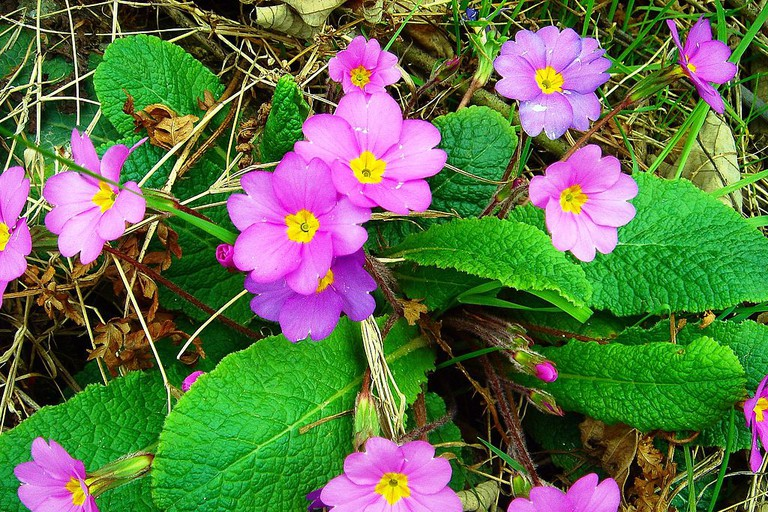 Pink primula vulgaris
