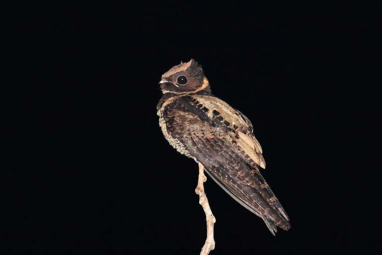 A nightjar at Tangkoko