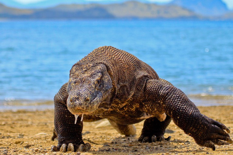 The Ancient Komodo Dragon