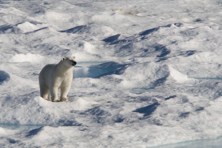 A Polar Bear in Sirmilik National Park