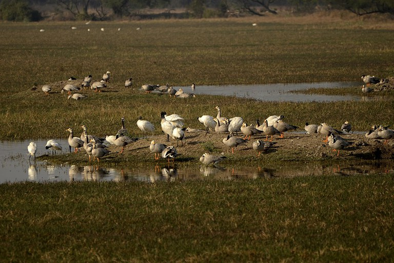 Bar-headed goose and black-headed ibis
