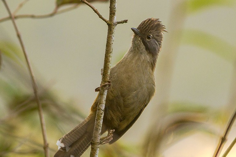 Hoary-throated Barwing at Neora Valley National Park