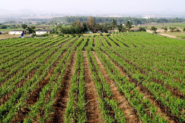 Sula Vineyards