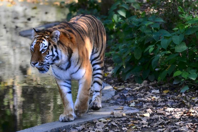 Tiger in Munich Zoo