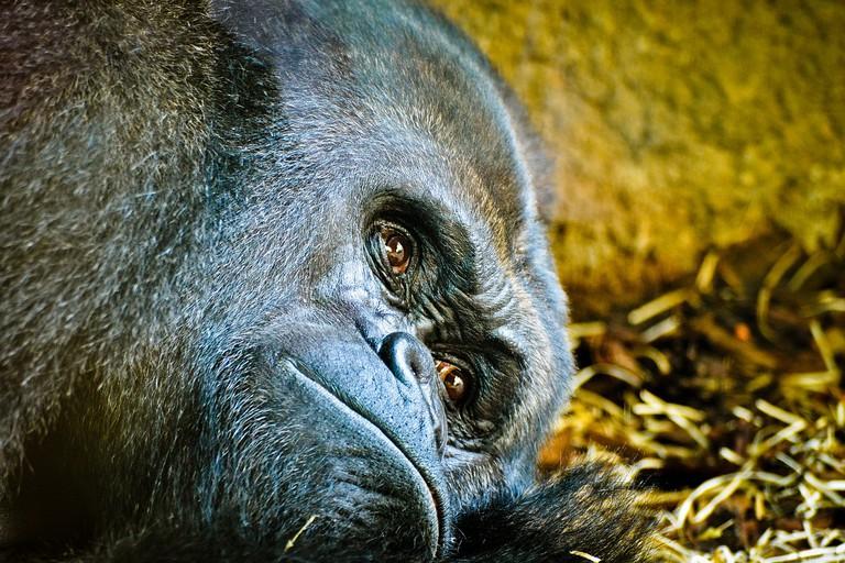 Gorilla in Frankfurt Zoo