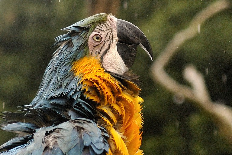 Blue & Gold Macaw in the rai