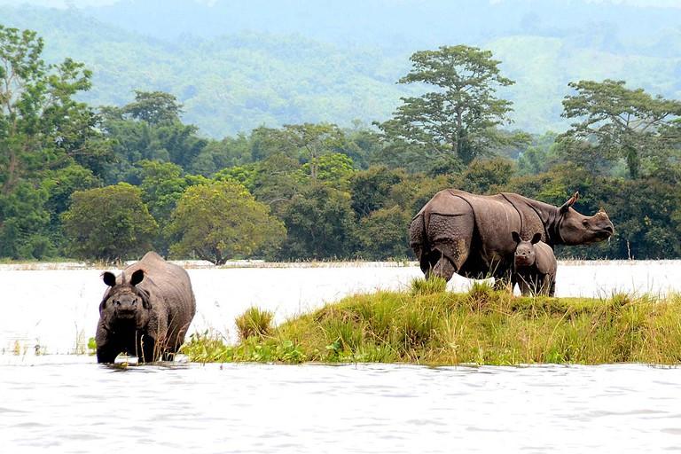 Rhinos at Kaziranga National Park