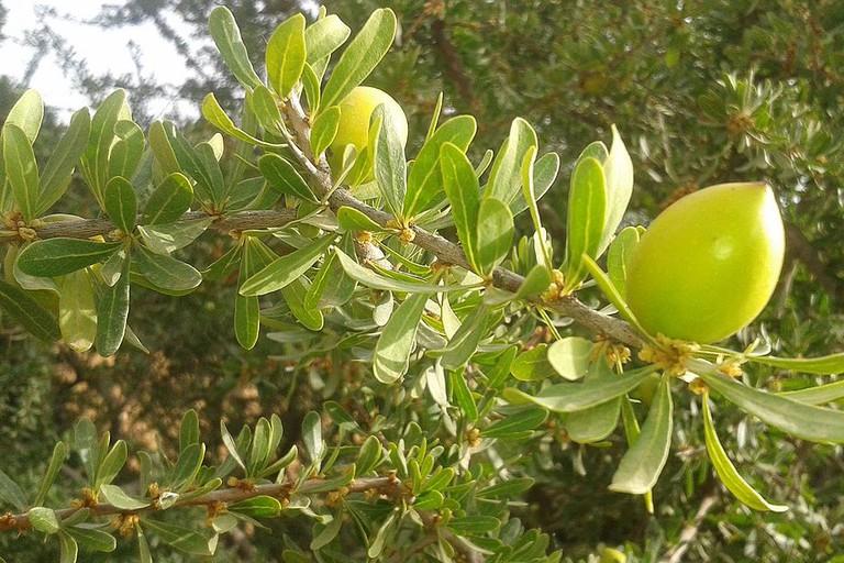 Argan plant in Morocco
