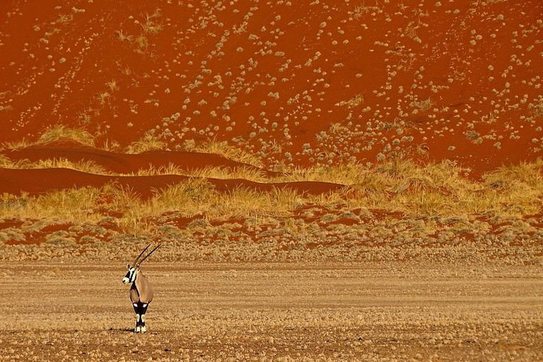A lone oryx in a desert sea