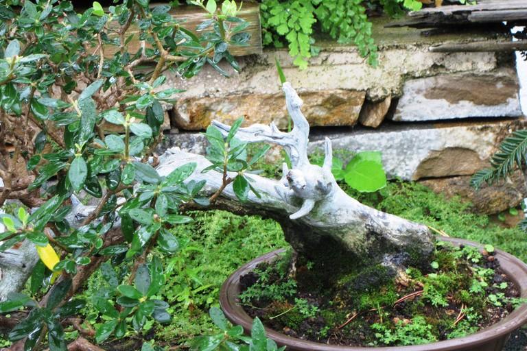 A miniature tree in the Museo del Bonsai