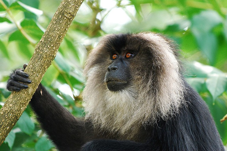 Lion-tailed Macaque is an Old World monkey endemic to the Western Ghats