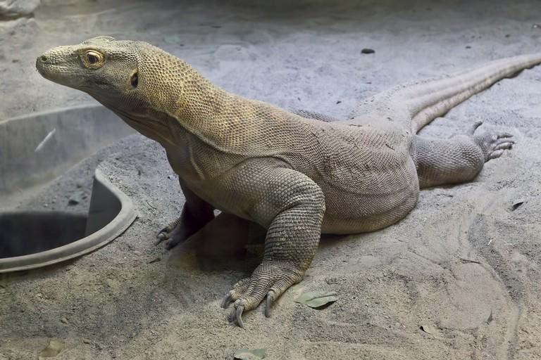 Komodo Dragon at the Virginia Aquarium & Science Center
