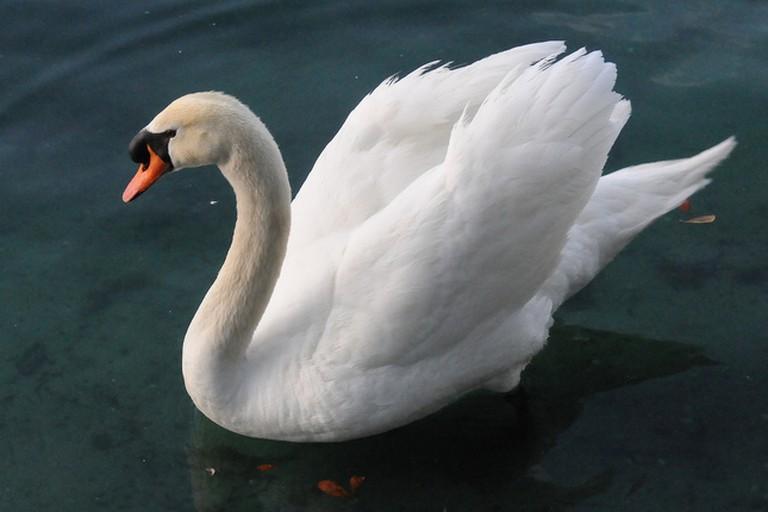 Swan, Lake Eola