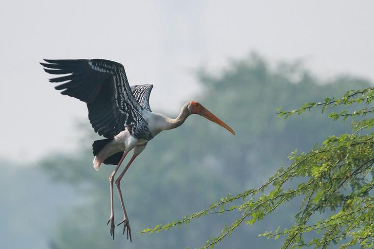 Painted stork in flight at Sulatnpur Bird Sanctuary